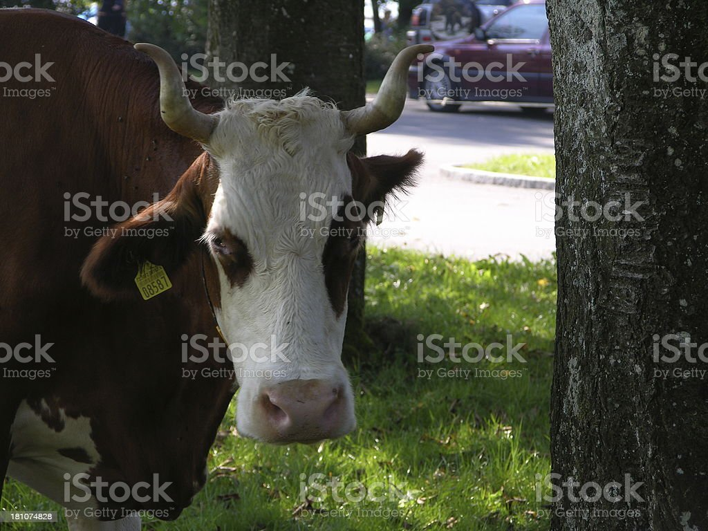 auto and cow heat royalty-free stock photo