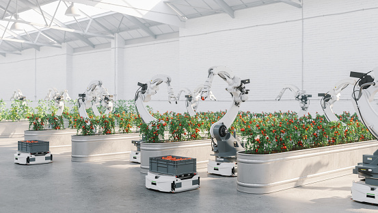 Robots harvesting vegetables in automated modern greenhouse.