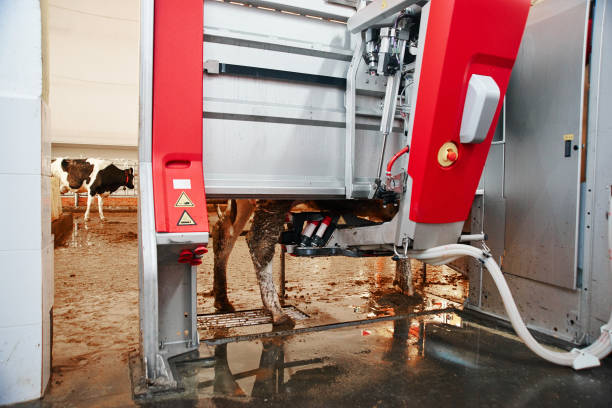 Automated cow farm. Milking machine, modern milk production technology at the factory