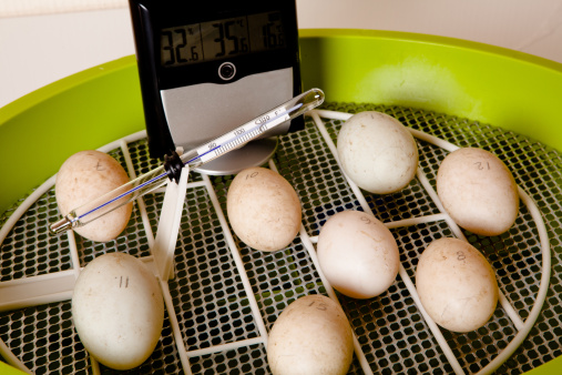 Automatic Egg Incubator Stock Photo - Download Image Now