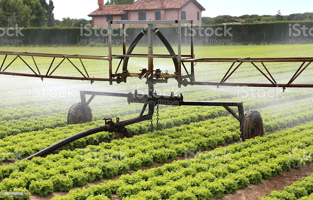 automatic irrigation system of a lettuce field in summer stock photo