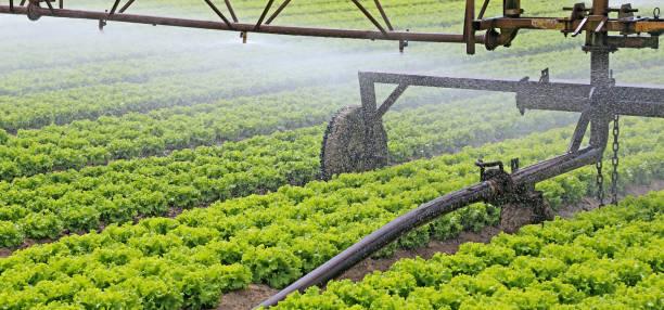 Automatisches Bewässerungssystem eines Salatfeldes – Foto