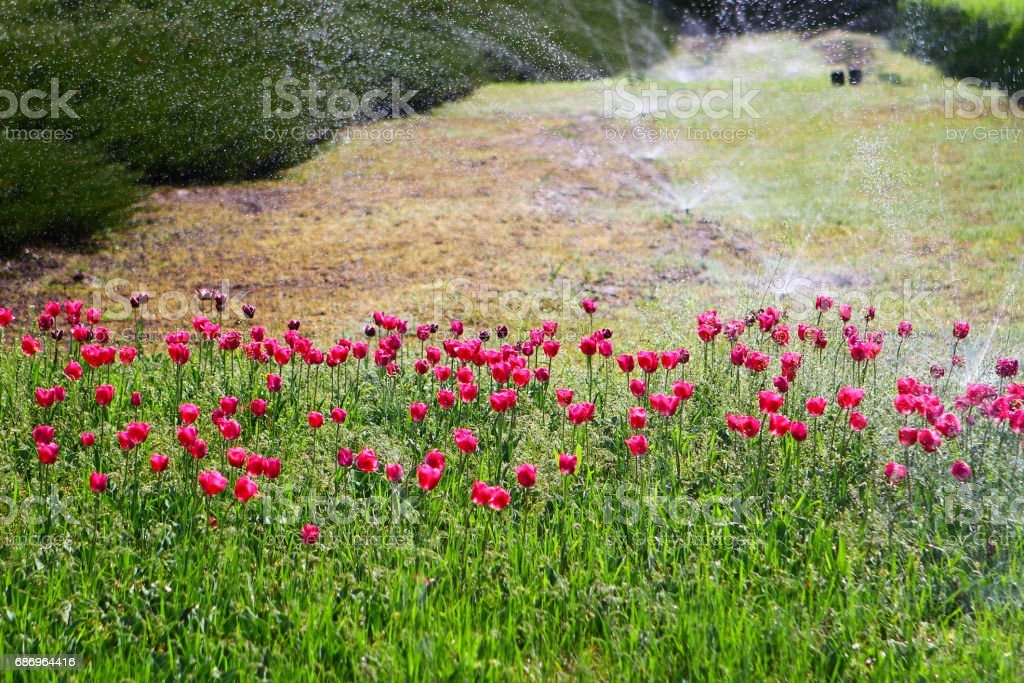 Automatic sprinkle plants on flower lawn stock photo