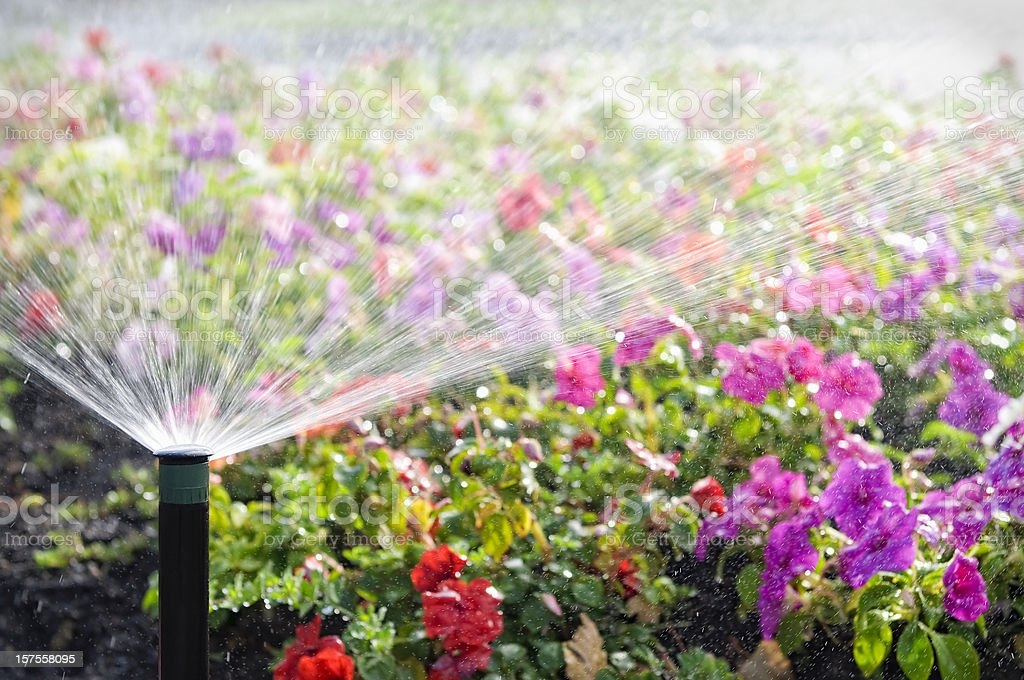 Automatic Sprinkler Watering Flowers stock photo