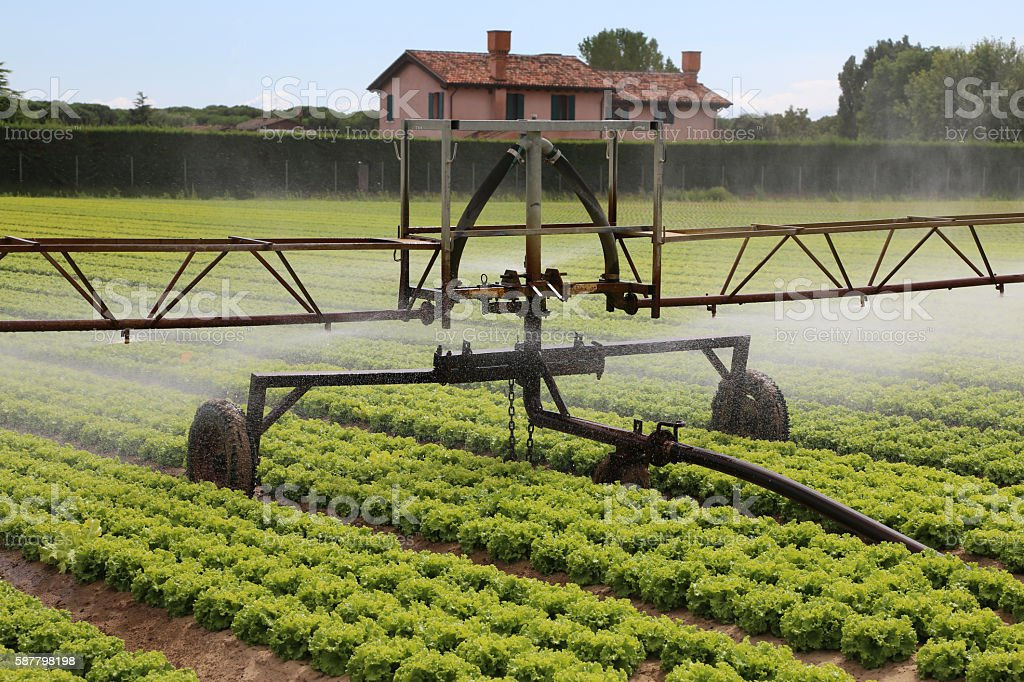 automatic sprinklering system of a lettuce field in summer stock photo