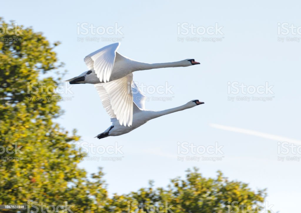 Autumn 2018 two white mute swans flying stock photo