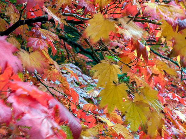 Autumn Acer stock photo