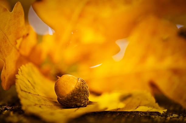 Autumn acorn and leaf macro stock photo