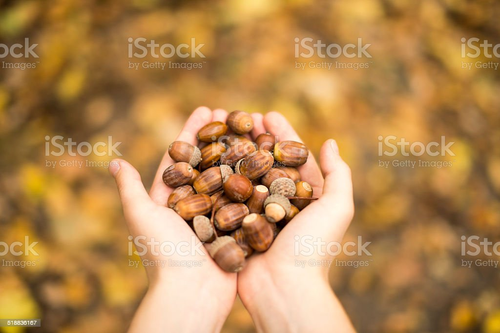 autumn acorns in hands of a young man stock photo