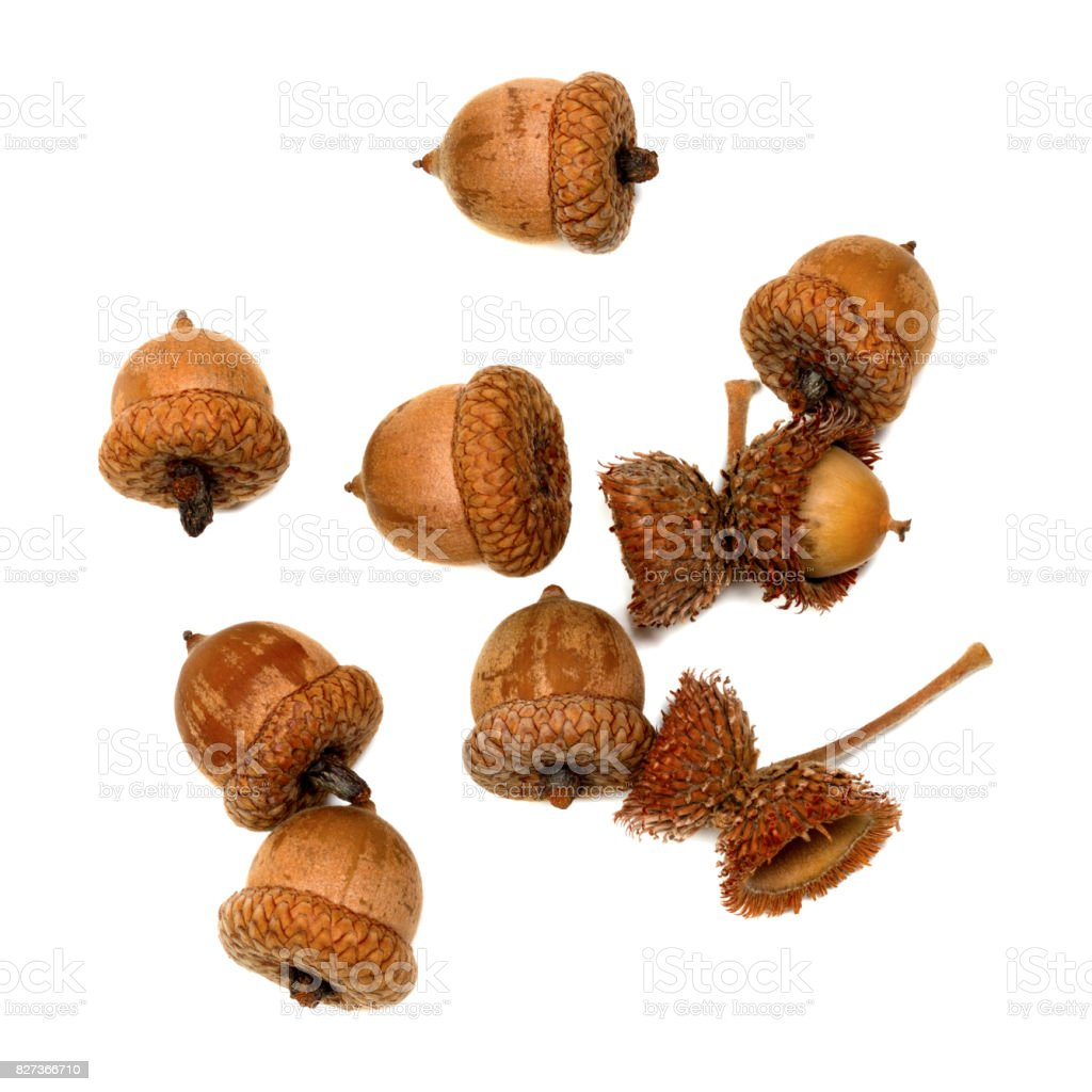 Autumn acorns on white stock photo