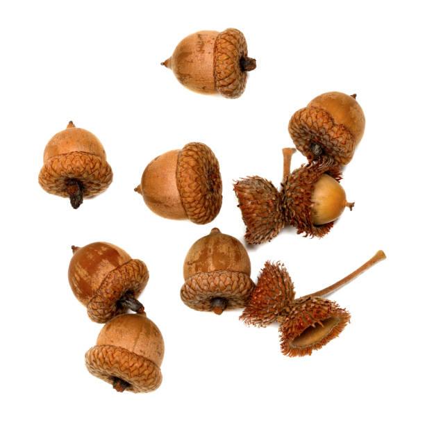 Autumn acorns on white - foto stock