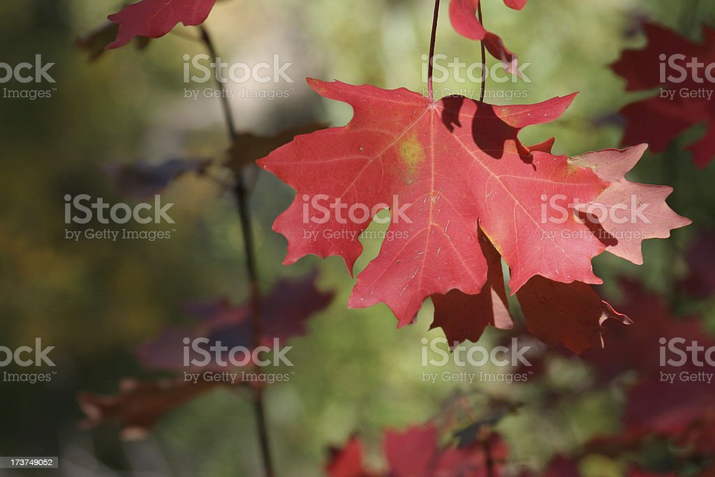 Autumn Afternoon Crimson royalty-free stock photo