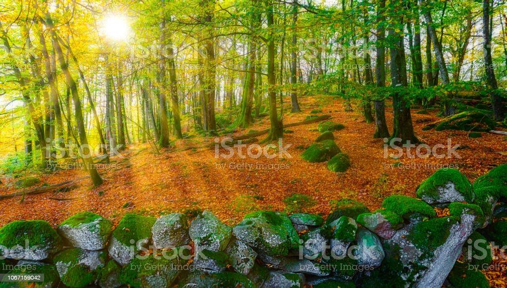 Hösten och skira orange skog bildbanksfoto