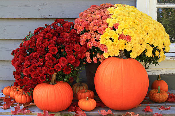autumn and thanksgiving decoration - chrysant stockfoto's en -beelden