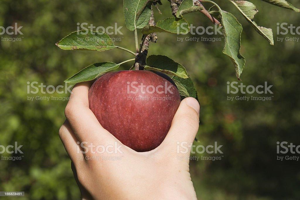 Autumn Apple Picking stock photo