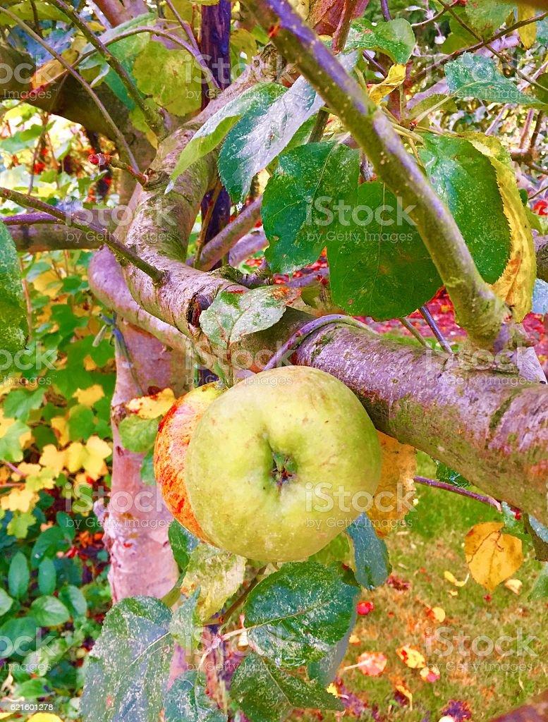Autumn Apple stock photo