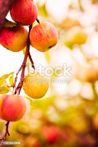 autumn apple tree branch with fruit