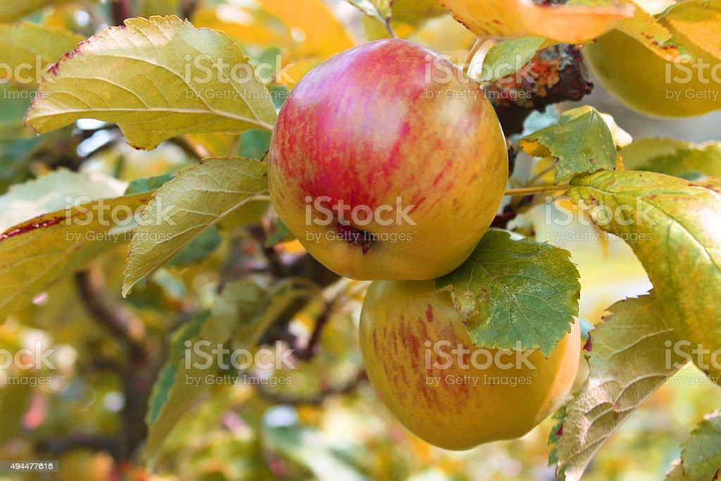 Autumn apples on a tree stock photo
