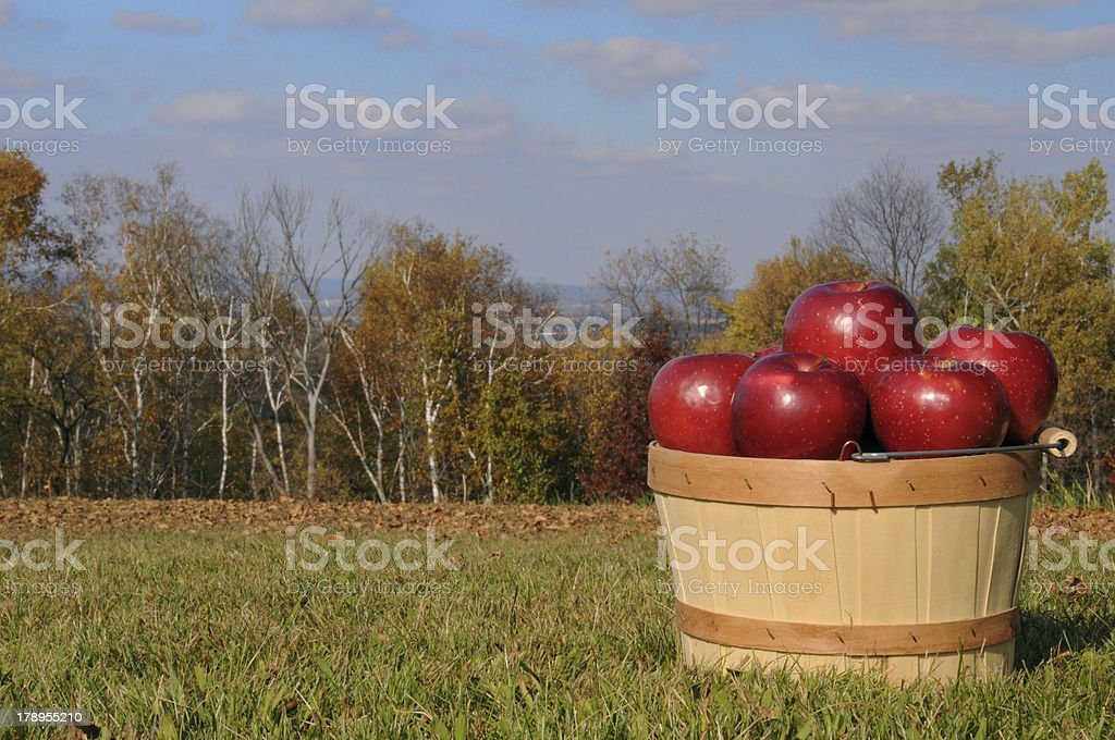Autumn apples royalty-free stock photo