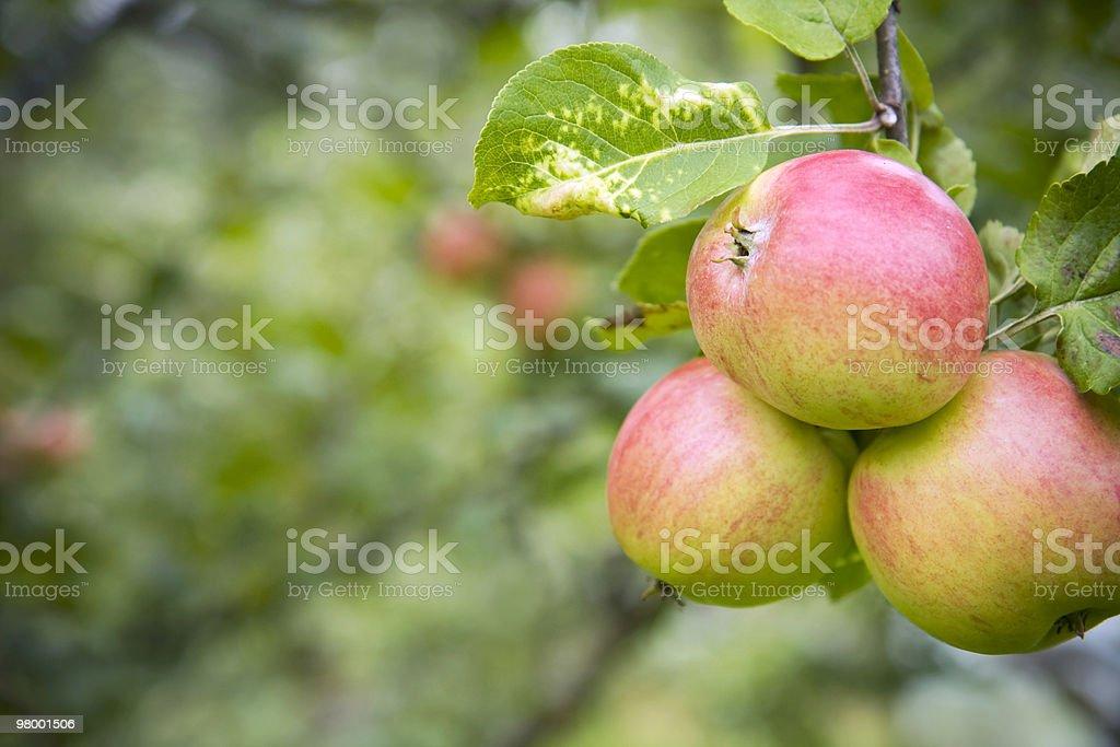 Autumn apples royalty free stockfoto