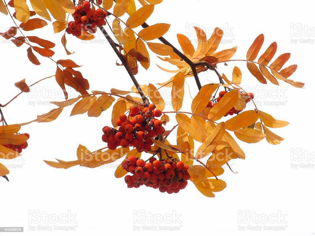 Autumn ashberry royalty-free stock photo
