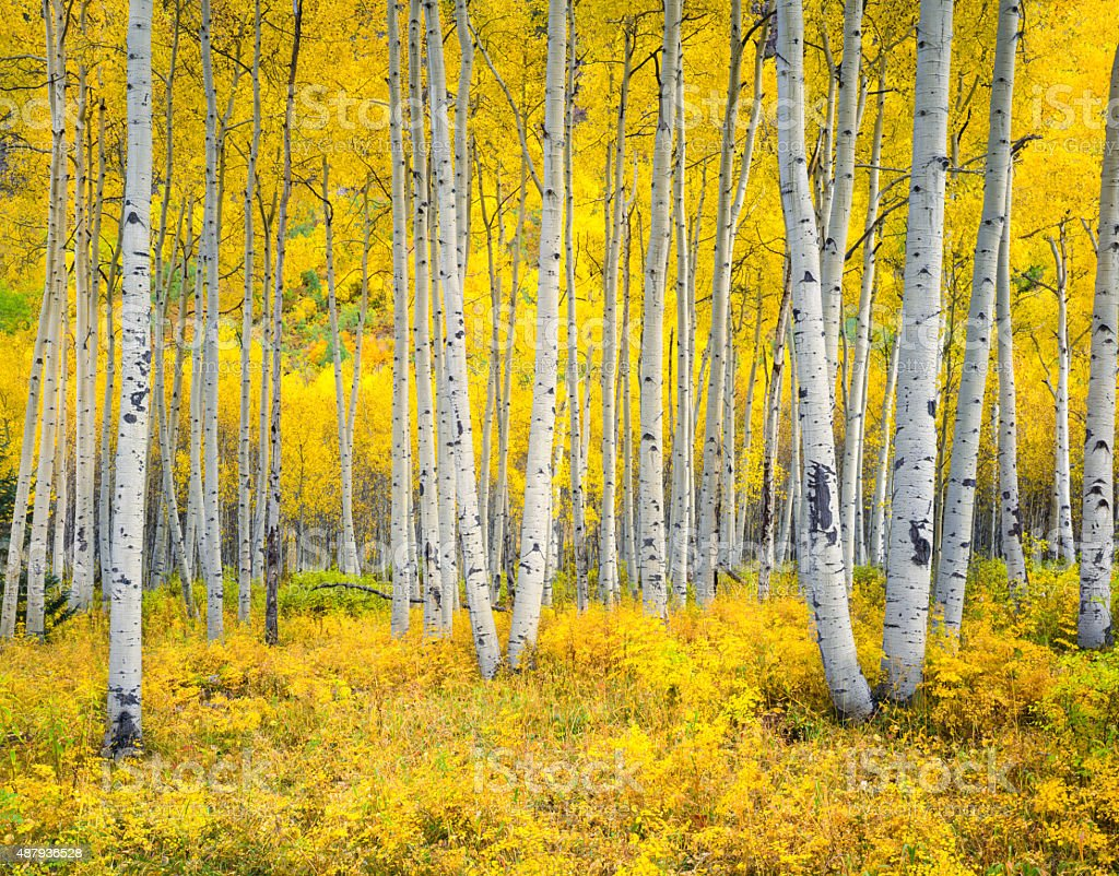 Autumn aspen forest in the Rocky Mountains,Colorado stock photo