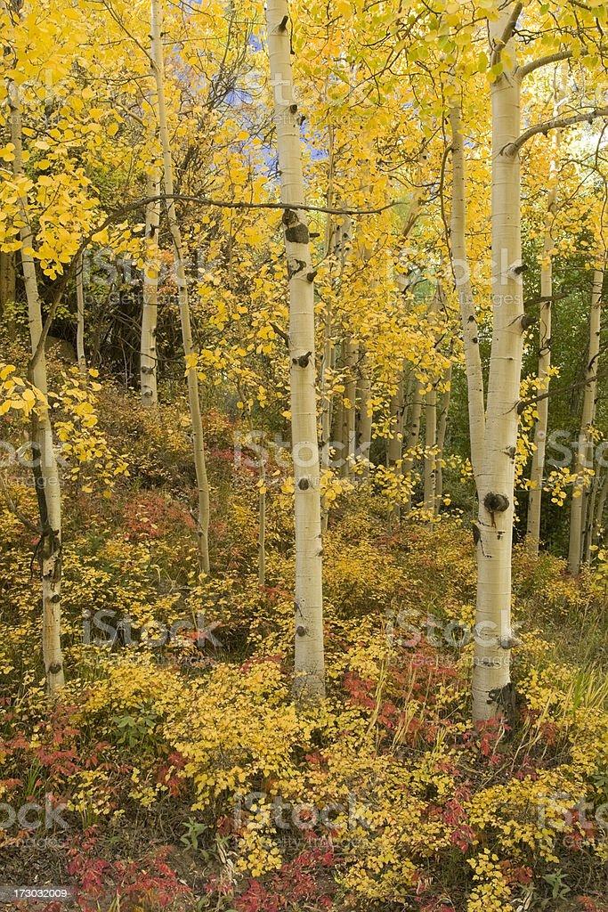 Autumn Aspen Forest royalty-free stock photo