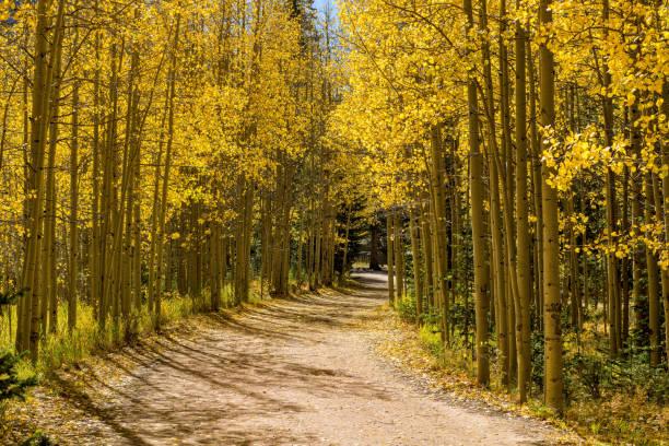 autumn aspen grove - a hiking trail winding through a golden aspen grove on a bright sunny autumn day. - aspen trees vector stock photos and pictures