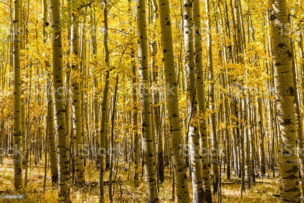 Autumn Aspen Grove stock photo