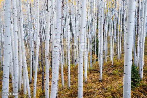 istock Autumn Aspen Grove 817712642