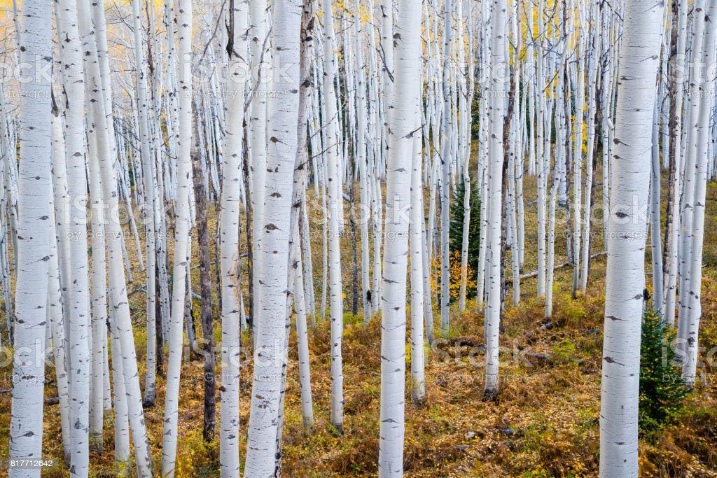 Aspen Grove im Herbst – Foto