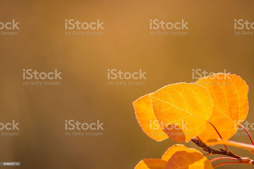 Autumn Aspen Leaves stock photo