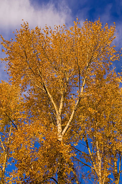 Autumn aspen stock photo