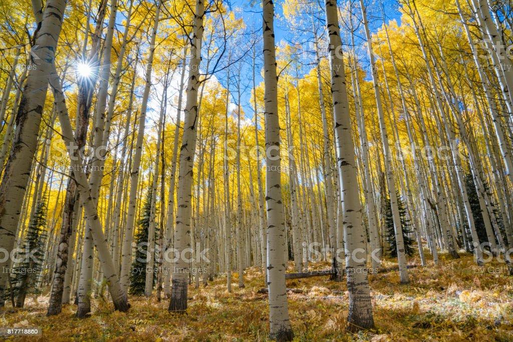 Autumn Aspen Sunburst stock photo