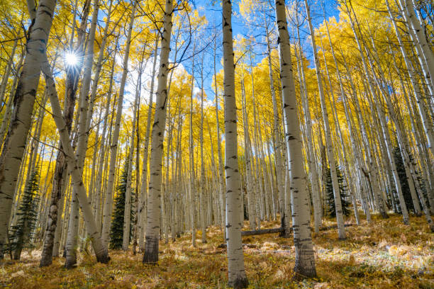 Autumn Aspen Sunburst Sunburst shines through a grove of aspens trees in autumn vail colorado stock pictures, royalty-free photos & images