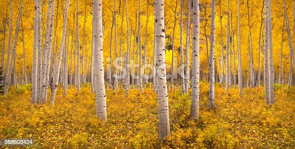 Autumn aspen tree forest in the San Juan Range of the Rocky Mountains, Colorado