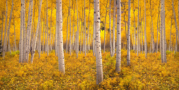 Autumn aspen tree forest in the Rocky Mountains, CO stock photo