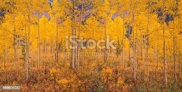 istock Autumn aspen tree forest in the Rocky Mountains, CO 588604032