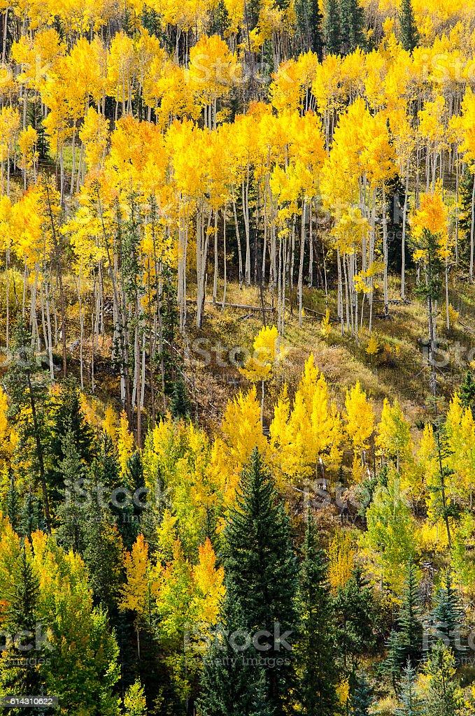 Autumn Aspens in the Colorado Rocky Mountains stock photo