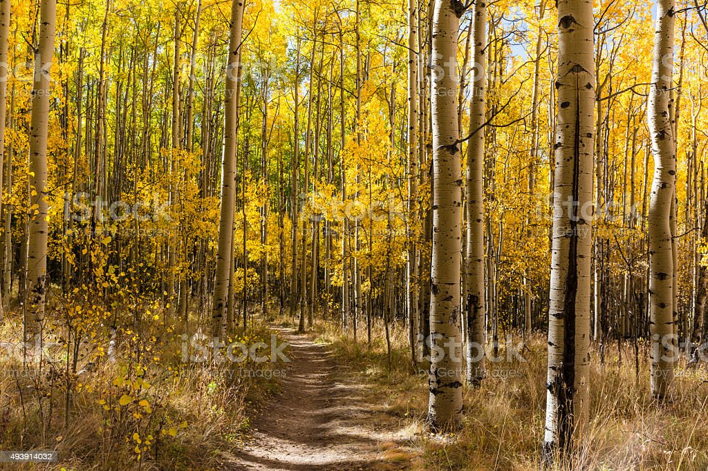Autumn Aspens Trail stock photo