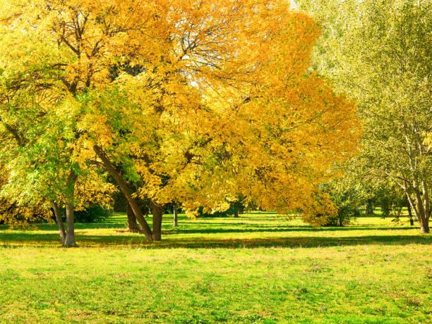 outono no quintal e jardim. fundo de natureza com árvores coloridas em dia ensolarado - setembro amarelo - fotografias e filmes do acervo