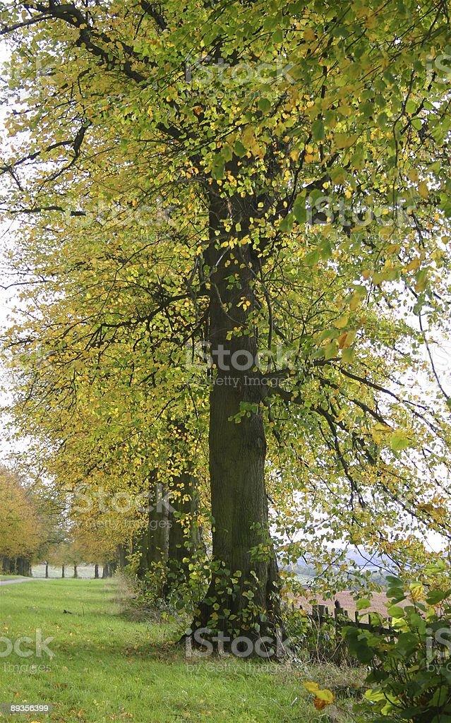 Jesień Aleja z birch tree zbiór zdjęć royalty-free