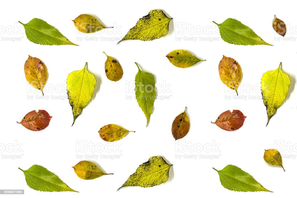Autumn background made from the leaves of chokeberry and Jerusalem artichoke, on a white background. Autumn, fall concept. Flat lay, top view. stock photo