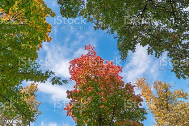 Photo of Autumn background. Multicolored yellow, green and red leaves on a background of blue sky in an autumn park. Soft focus.