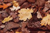 Autumn background of fallen wet oak leaves