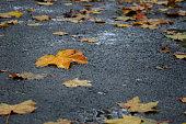 Fallen maple tree leaves on wet asphalt in rainy autumn day