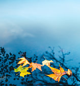Dry autumn leaves floating on a water surface of the lake. Trees are reflecting in the water.