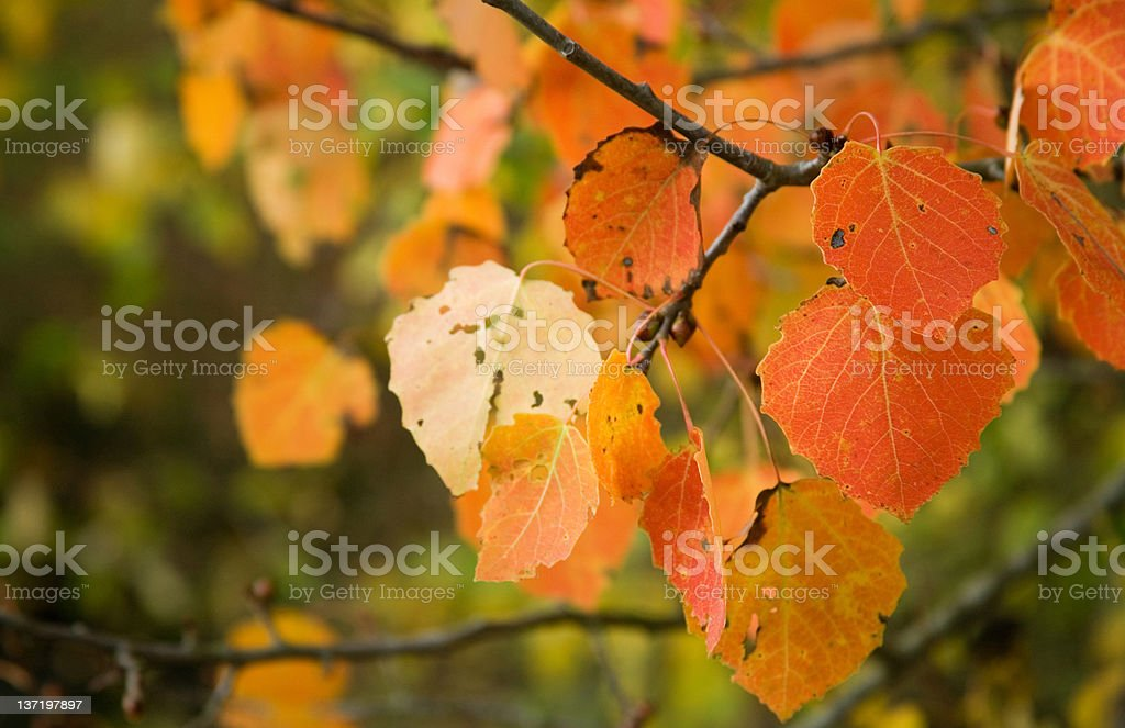 Autumn background. Red quaking asp leaves stock photo