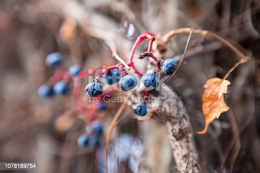 867774250 istock photo Autumn background with blue berries and red leaves 1078189754