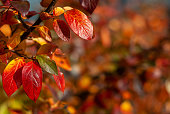Autumn red and orange leaves of black chokeberry, Aronia melanocarpa, on a blurred background.